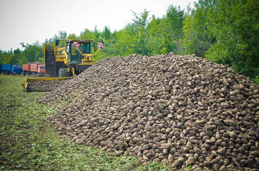 64 свеклоуборочных комбайна будут задействованы в свекловичной страде - 2017. Это ровно треть техники, занятой уборкой сахарной свеклы в регионе.