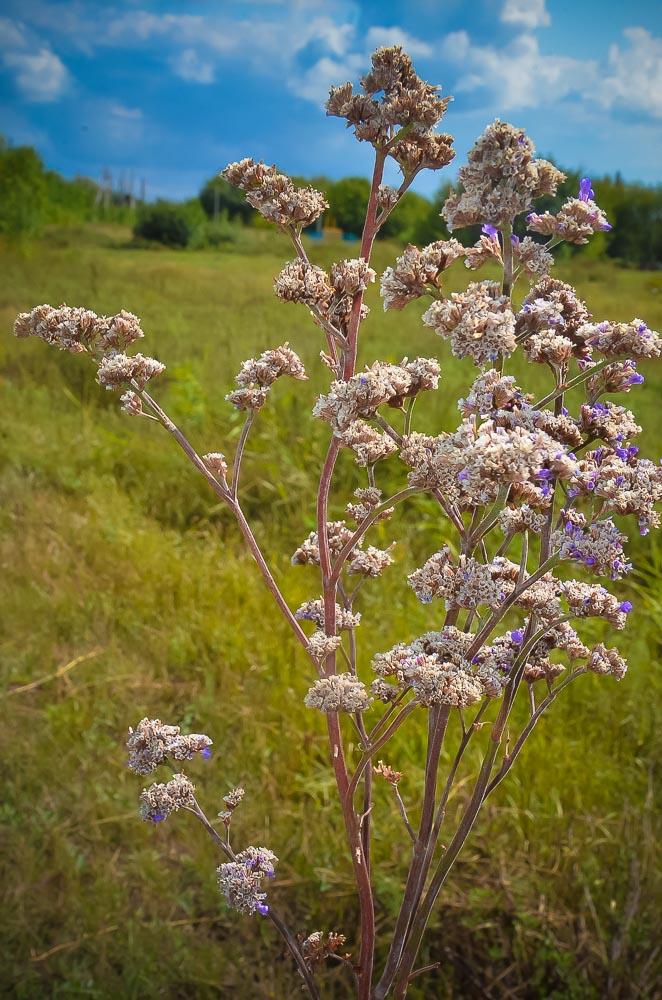 Солонцы у д. Наливкино охраняются государством, как памятник природы. Здесь растут редкие расте- ния, занесенные в Красную книгу. Например, кермек (на фото).