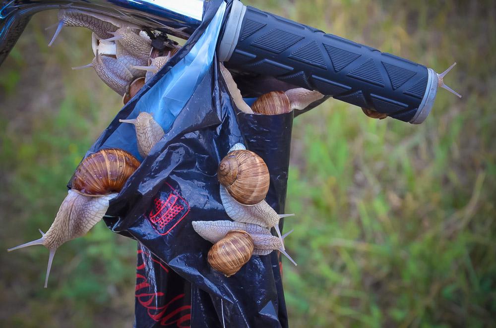 А еще - следить, чтобы они не сбежали. Несмотря на свою мед- лительность, моллюски ловко выползают из пакета. Поди потом догони...